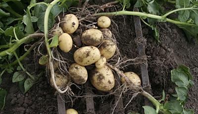 Skiftekær økologi økologiske Grøntsager Og Kartofler Fra Tåsinge